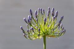 Purpurrote Agapanthusblume Lizenzfreie Stockbilder
