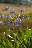 Purpurrote Agapanthusblumen im Garten Lizenzfreie Stockfotos