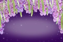Purpurrote Akazie Stockbild