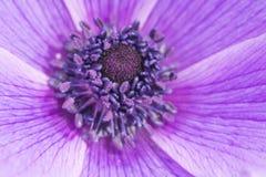 Purpurrote Anemone lizenzfreies stockfoto