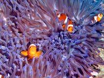 Purpurrote Anemone-Gemeinschaft Lizenzfreies Stockfoto