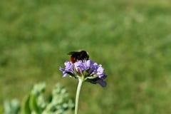 purpurrote Anlage, die durch Biene bestäubt wird Lizenzfreie Stockfotografie