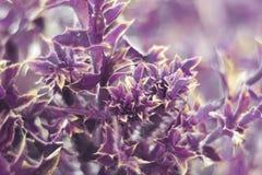 Purpurrote Anlage mit den scharfen Dornen und den geschnitzten Blättern Stockfotografie