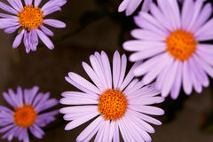 Purpurrote Aster Lizenzfreie Stockfotos