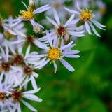 Purpurrote Aster Wildflowers Lizenzfreie Stockfotos
