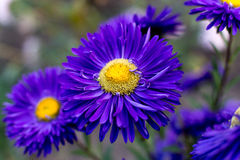 Purpurrote Asterblume Stockfoto