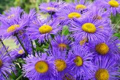 Purpurrote Asterblumen, die im Blumenbeet blühen Stockfoto