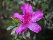 Purpurrote Azalea Flower mit Wassertropfen auf der Blume Stockfotografie