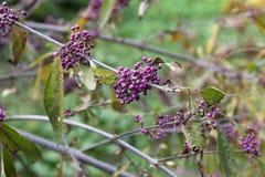 Purpurrote beautyberry Anlage - Callicarpa Americana - dendrological Park Macea, der Bezirk Arad - Rumänien Lizenzfreie Stockfotos