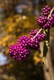 purpurrote Beeren Lizenzfreie Stockfotos