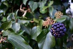 Purpurrote Beeren angebaut auf einem Baum im Winter lizenzfreie stockfotografie