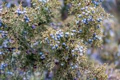 Purpurrote Beeren auf einem Baum Stockfoto