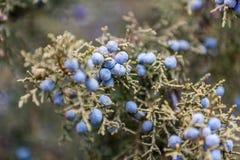 Purpurrote Beeren auf einer Baumnahaufnahme Stockbild