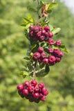 Purpurrote Beeren auf Kreuzung Aronia oder des Chokeberry, Niederlassungsnahaufnahme mit bokeh Hintergrund, selektiver Fokus, fla lizenzfreie stockfotografie