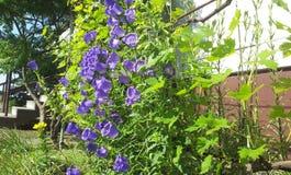Purpurrote Bell-Blume Stockbild