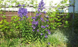 Purpurrote Bell-Blume lizenzfreies stockbild
