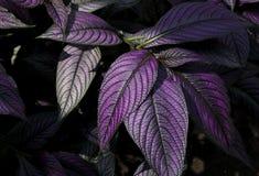Purpurrote Blätter Stockbilder