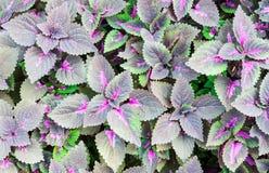 Purpurrote Blätter Lizenzfreies Stockbild