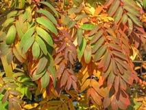 Purpurrote Blätter Stockbild