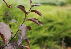 Purpurrote Blätter des Herbstes der Pflaume Stockfotografie