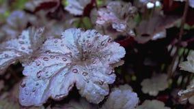 Purpurrote Blätter werden mit Morgenfrost bedeckt Stockbilder