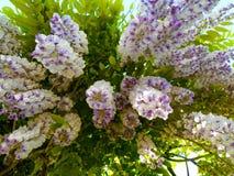 Purpurrote Blüte Stockfotografie