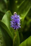 Purpurrote Blüten Stockbilder