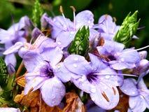 Purpurrote Blüten Stockfotografie