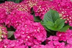 Purpurrote Blüten von Hortensia Lizenzfreies Stockfoto