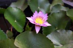 Purpurrote Blütenlotosblume mit dem gelben Blütenstaub und fokussieren heraus Lotosblätter Stockfotos