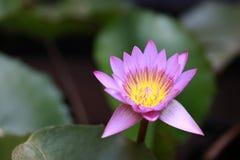 Purpurrote Blütenlotosblume mit dem gelben Blütenstaub und fokussieren heraus Lotosblätter lizenzfreie stockfotografie