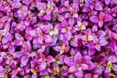 Purpurrote Blattbeschaffenheit, Blatthintergrund Lizenzfreies Stockfoto