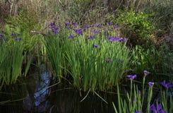 Purpurrote blaue Louisiana-Iris, die im Bayousumpfwasser wild wächst lizenzfreie stockfotos