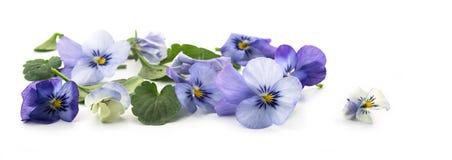 Purpurrote blaue Stiefmütterchenblumen und Blätter, Frühlingsfahnenhintergrund I Lizenzfreie Stockbilder