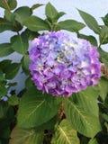 Purpurrote blaue weiße grüne Hortensie Stockfotos