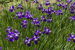 Purpurrote Blende im Garten Stockfotografie