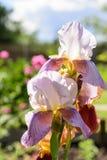 Purpurrote Blende im Garten sommerzeit Abschluss oben Lizenzfreies Stockfoto
