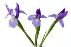 Purpurrote Blenden-Blumen Lizenzfreies Stockbild