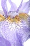 Purpurrote Blendenblumen über Weiß Lizenzfreie Stockfotografie