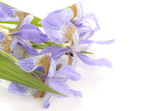 Purpurrote Blendenblumen über Weiß Stockbild