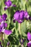 Purpurrote Blendenblumen Lizenzfreie Stockfotografie
