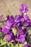 Purpurrote Blendenblumen Lizenzfreies Stockbild