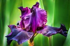Purpurrote Blendenblumen Lizenzfreies Stockfoto