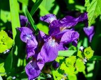 Purpurrote Blendenblumen Stockbild
