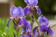 Purpurrote Blendenblumen Ausführliche vektorzeichnung Hintergrund, schön, Blatt Lizenzfreie Stockbilder
