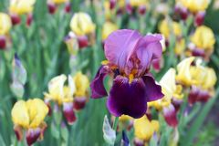 Purpurrote Blendennahaufnahme Hintergrund, schön, Blatt Lizenzfreie Stockfotografie