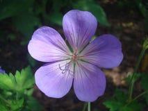 Purpurrote Blume 2 Lizenzfreies Stockbild