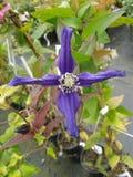 Purpurrote Blume 4 Stockbild