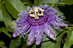 Purpurrote Blume. Lizenzfreies Stockfoto