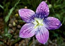 Purpurrote Blume Stockfoto
